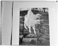 Photograph of two goats, featured in the annual Popular Photography exhibit, 1940s