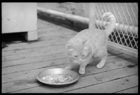 Cat eating from a plate of scraps on the S.S. Mariposa, Los Angeles