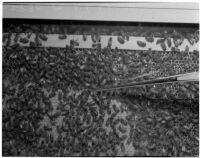 Honeybees used to treat arthritis in Dr. Raymond L. Carey's laboratory, Los Angeles, November 9, 1941