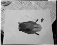 Bat specimen brought back by a team of U.S.C. scientists from their exploration of the Gulf of Lower California, Los Angeles, February 21, 1940