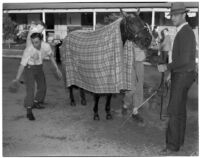 Race horse Seabiscuit wearing a blanket after winning the Santa Anita Handicap mile and a quarter race in record time, Arcadia, March 2, 1940