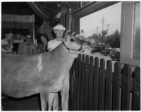 "Elsie the Borden Cow, star of the 1940 film ""Little Men,"" looking over a fence, Los Angeles, 1940"