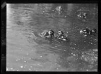 Ducklings in the water at Westlake Park, Los Angeles