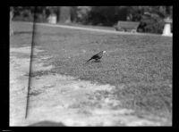 Bird on the ground in Westlake Park, Los Angeles