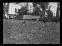 Two black birds standing on the grass in Westlake Park, Los Angeles