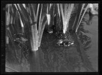 Ducklings swimming around the reeds in Westlake Park, Los Angeles