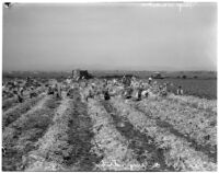 Japanese American workers return to harvest celery fields in Venice after going on strike, Los Angeles, 1936