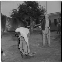 Forrest Farrell fitting horseshoes on race horse W.L. Sickle, Arcadia, 1946