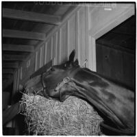 Race horse Enfilade in the Santa Anita Park stables, Arcadia, March 9, 1946