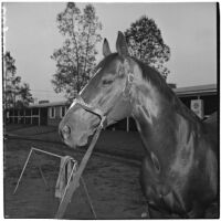 Race horse War Knight after winning the $100,000 Santa Anita Handicap, Arcadia, March 9, 1946