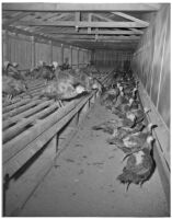 Turkeys to be exhibited in a competition for $5,100 at the seventh Turkey Show and Congress, Hemet, 1946
