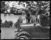 Dog belonging to William F. Gettle sitting on an automobile, Los Angeles, 1937