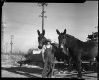 James F. Bryand stands with his two mules, Los Angeles, 1930s