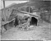 Bull and calf stand next to wooden shed, Los Angeles, 1930s