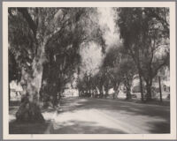 Street lined with pepper trees