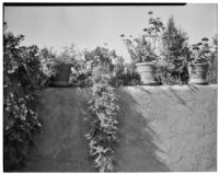 W. R. Dunsmore residence, potted plants on terrace wall, Los Angeles, circa 1930