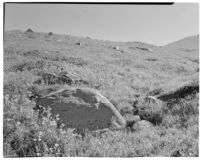 California Poppies blooming, Tehachapi Mountains, 1935