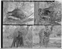 Daisy the elephant at Kapi'olani Park, Honolulu, 1928