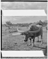 Long-horned cow, Hawaii, 1928