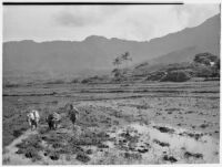 Farmer plowing with horse and long-horned cow, Hawaii, 1928