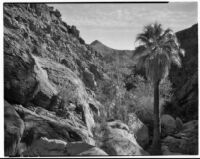 Desert palm near rocky mountains, probably Palm Canyon, Agua Caliente Indian Reservation, 1928