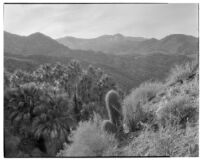 Palms growing in the desert with mountains in the background, Palm Canyon, Agua Caliente Indian Reservation, 1928