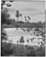 Two views of palms growing in the desert, Twentynine Palms, 1928