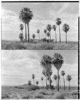 Two views of palms growing in the desert, Twentynine Palms, 1928