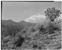 Chaparral growing on a desert hillside, Coachella Valley, 1935