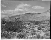 Chaparral growing near mountains in the desert, Coachella Valley, 1935