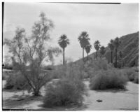 Palm oasis located in the Coachella Valley Preserve, Thousand Palms, 1928
