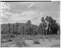 Desert landscape with palm oasis and mountain located in the Coachella Valley Preserve, Thousand Palms, 1928