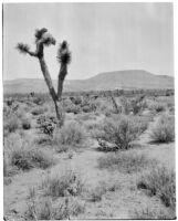 Yucca growing among desert shrubs, Morongo Valley, 1924