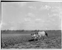 Man driving an ox team in a field, Europe, 1920s