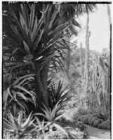 La Mortola botanical garden, view of a path winding through cactus and haworthia plants, Ventimiglia, Italy, 1929