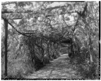 La Mortola botanical garden, view down a walkway enclosed by a pergola supporting Wisteria sinensis, Ventimiglia, Italy, 1929