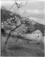 Cherry blossom trees in bloom on a hillside, Italy, 1929