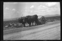 Ox team pulling a roller to flatten the newly paved road, Europe, late 1920s