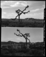 Dancing Joshua tree, near Twentynine Palms, 1928