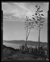 Agaves in bloom, Santa Monica, 1928