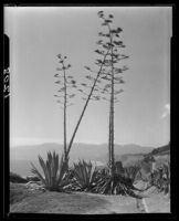 Agaves in bloom on Palisades Park cliffs, Santa Monica, 1928