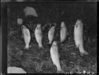 Trout on ground, Lake Arrowhead, 1929