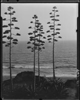 Agaves in bloom on Palisades Park cliffs, Santa Monica, 1925-1928