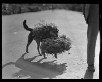 Dog with flowers at the Tournament of Roses Parade, Pasadena, 1932