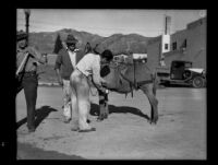 Man getting water from a pouch carried by a donkey after the catastrophic January flood and mudslide, La Crescenta-Montrose, 1934