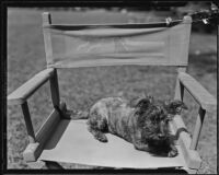 William F. Gettle's dog Rags without his owner, Beverly Hills, 1934