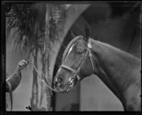 Portrait of an Arabian horse owned by W. K. Kellogg, Pomona, 1932