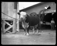 Cow at the Los Angeles County Fair, Pomona, 1929