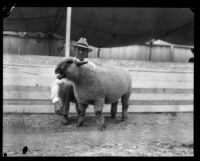 L. H. Bixby with one of his hampshire ewes at the Los Angeles County Fair, Pomona, 1929