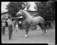 Bronze, a champion horse, at the Los Angeles County Fair, Pomona, 1929